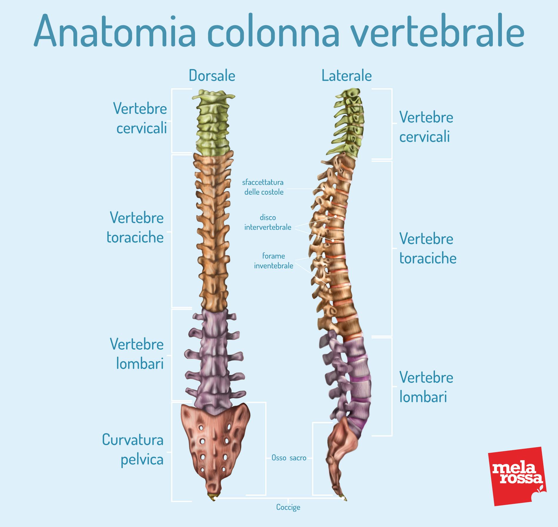 Scoliosi: anatomia della colonna vertebrale