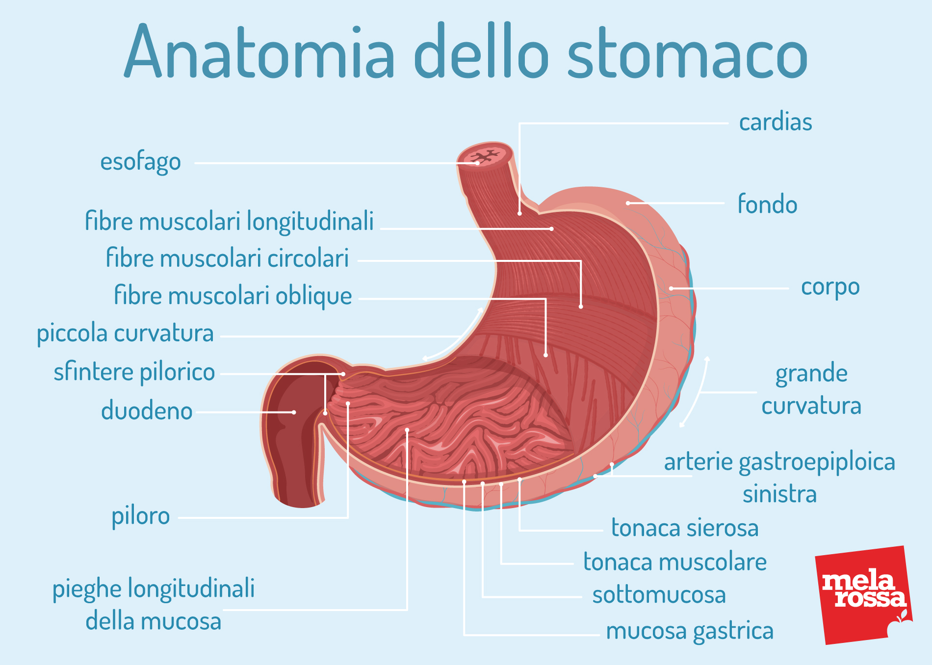 anatomia dello stomaco: come è fatto