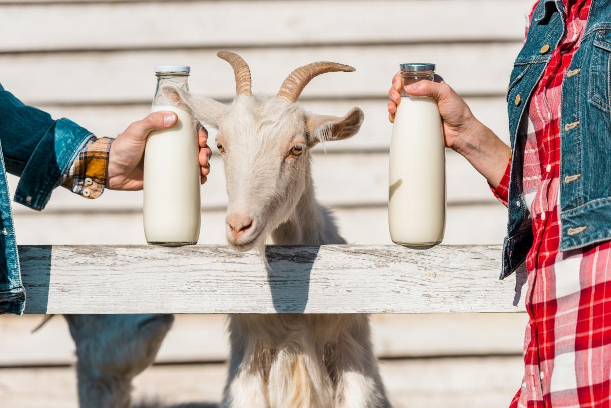 latte di capra o vaccino ?