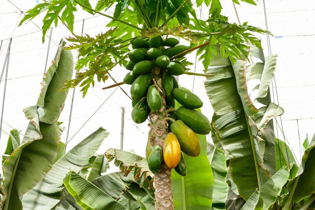 papaya: storia