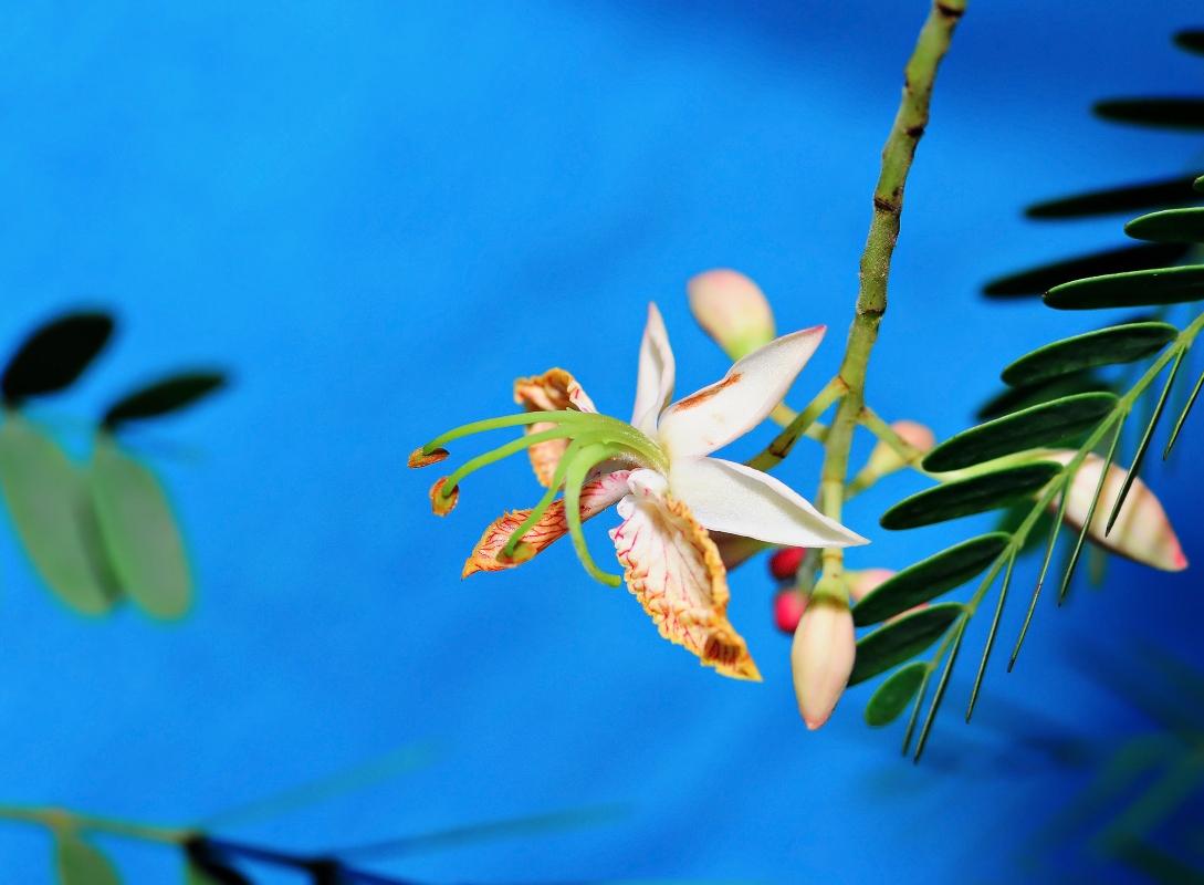 tamarindo: botanica