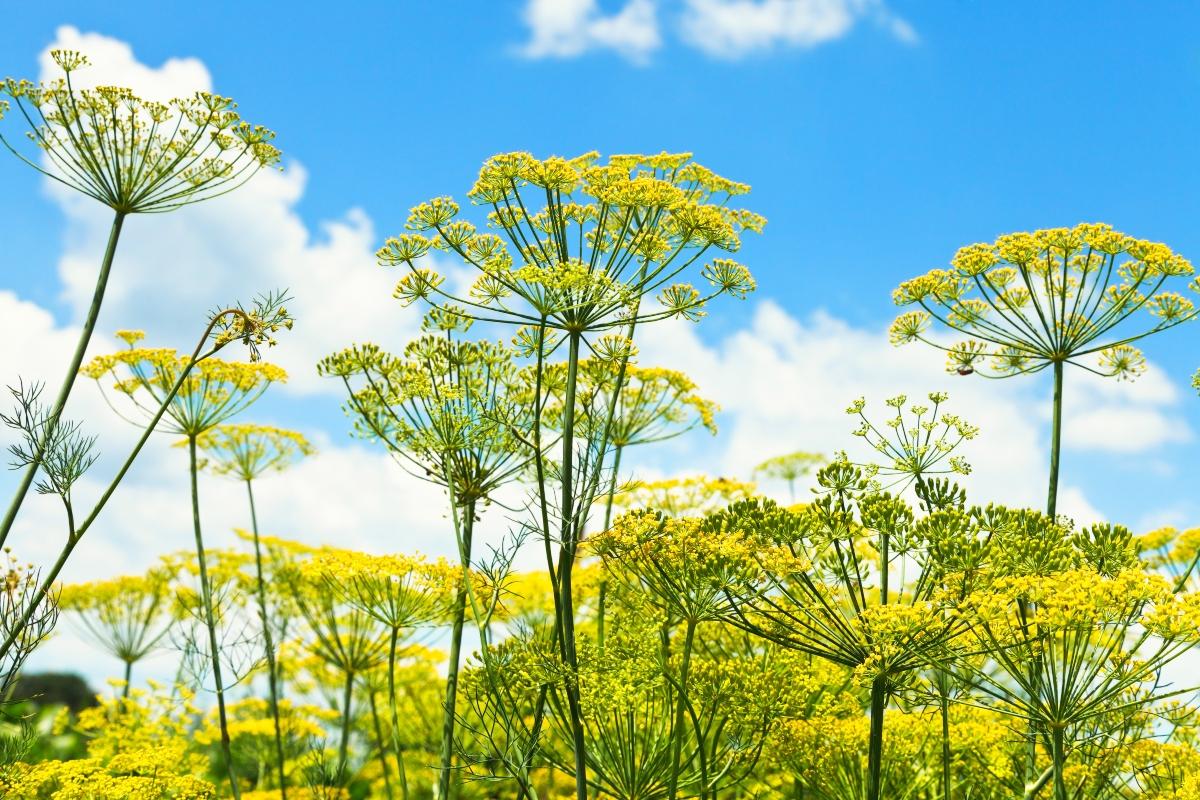 aneto: botanica