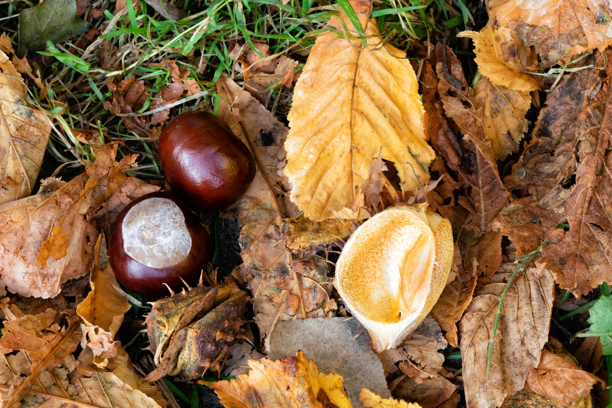 ippocastano e castagne: differenze