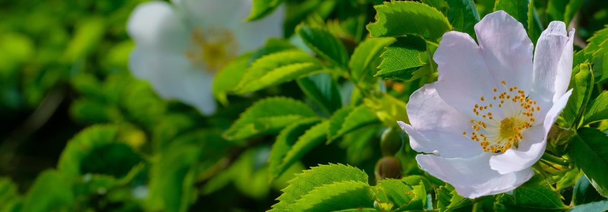 rosa canina : pianta