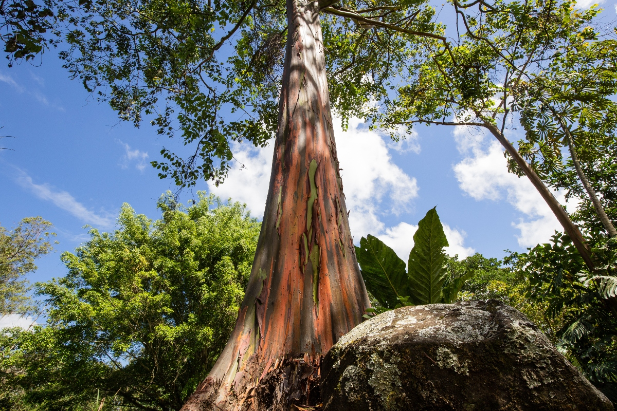 eucalipto: botanica