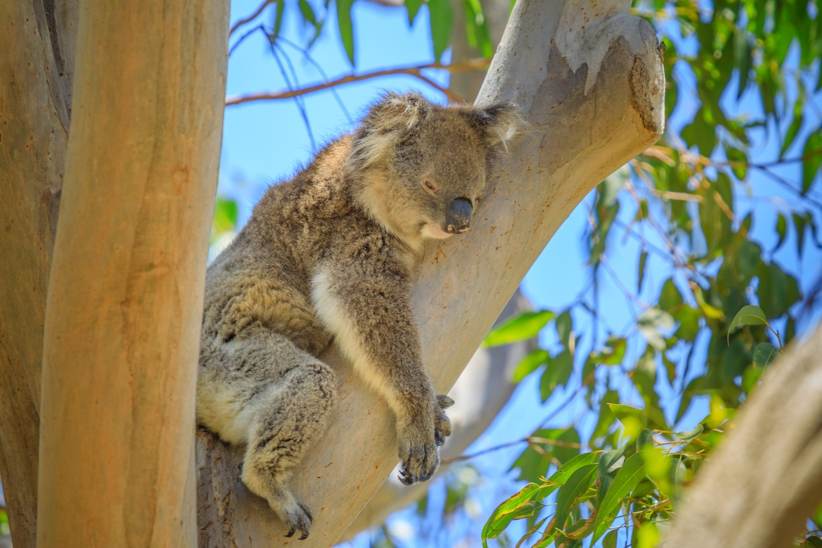 eucalipto e Koala