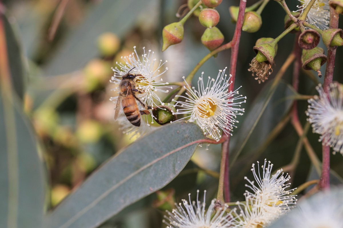 eucalipto-benefici
