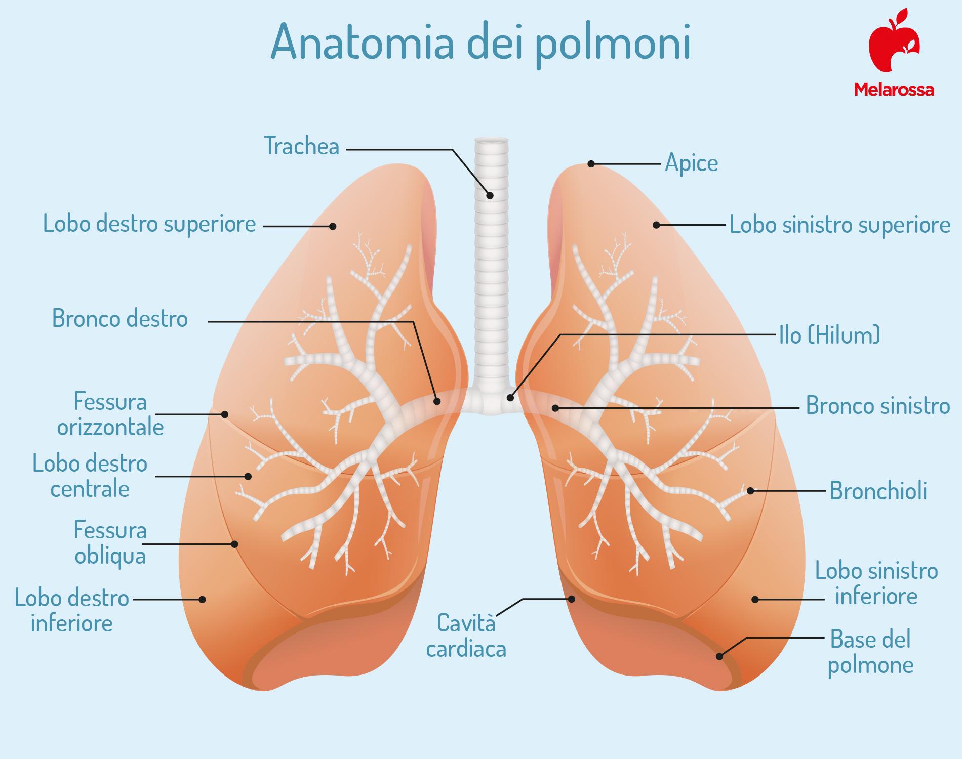 fibrosi polmonare: anatomia dei polmoni