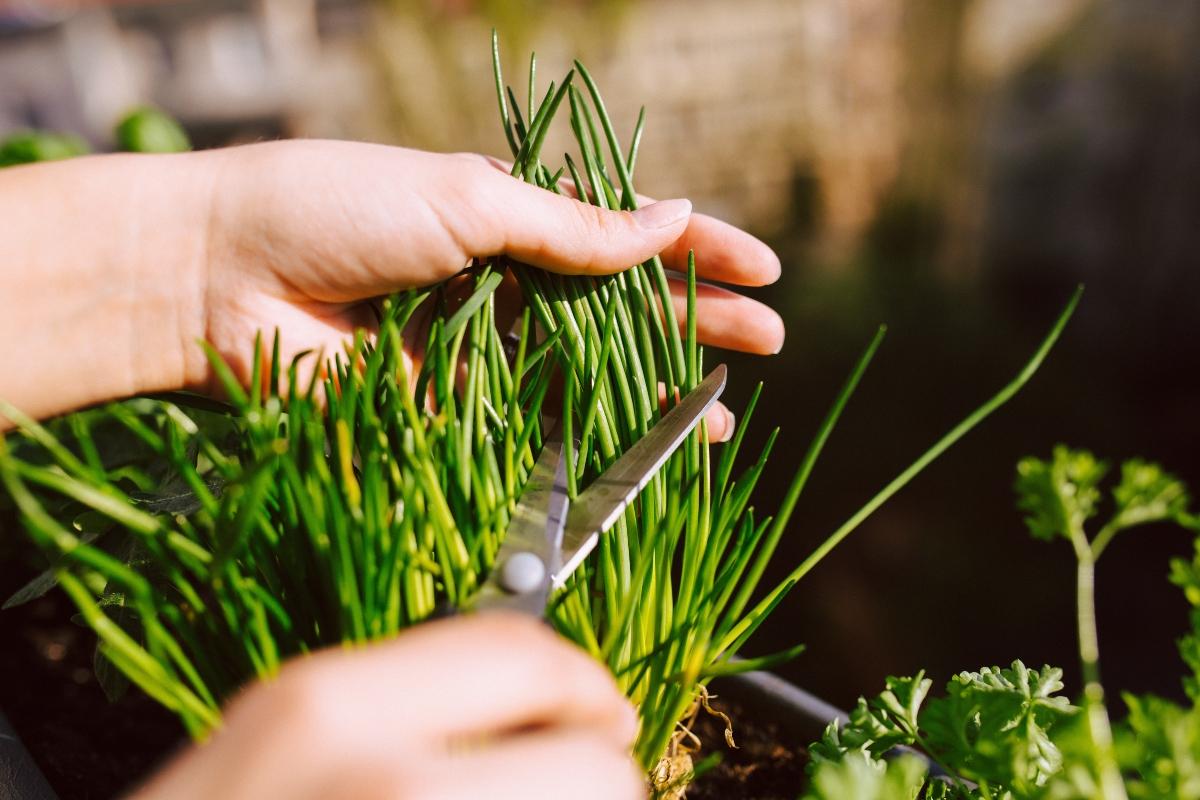 come coltivare erba cipollina