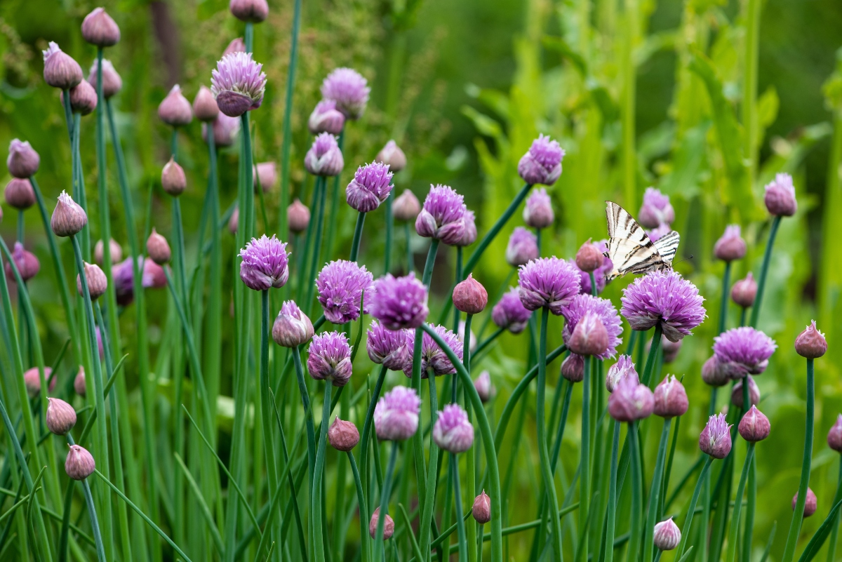 erba cipollina: botanica
