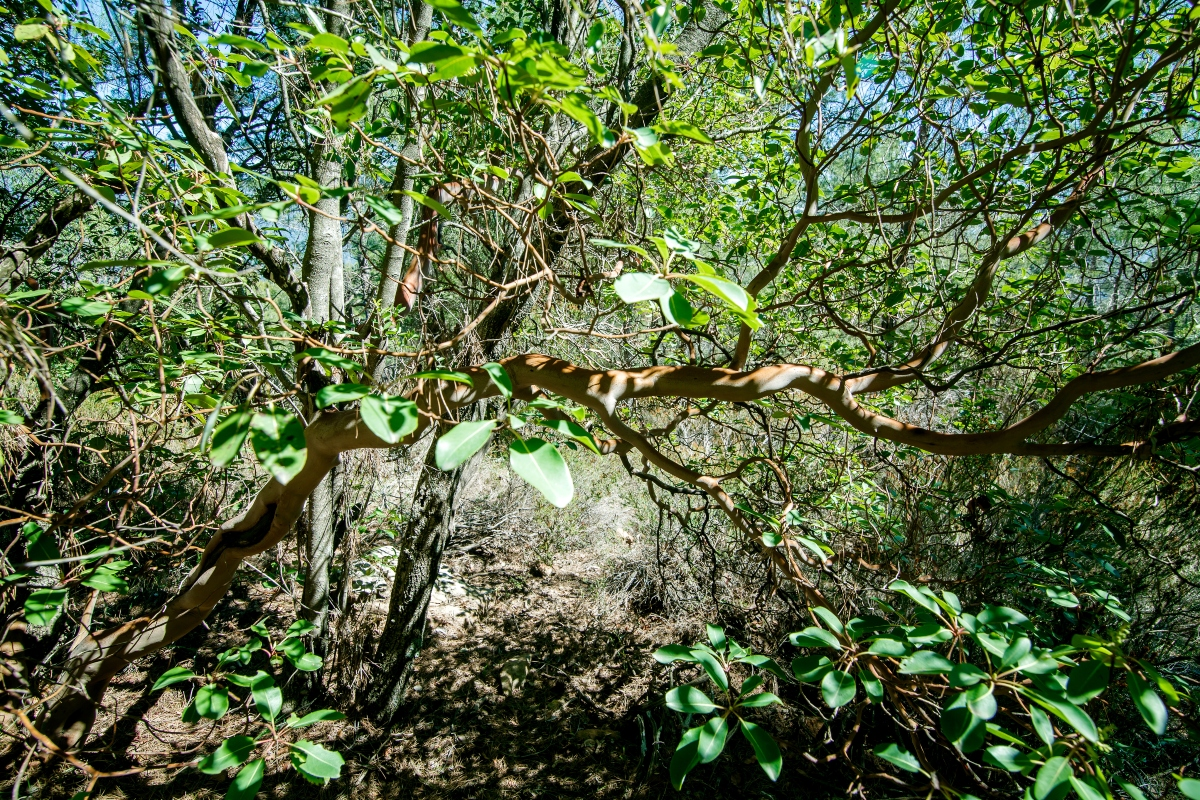 sandalo: botanica