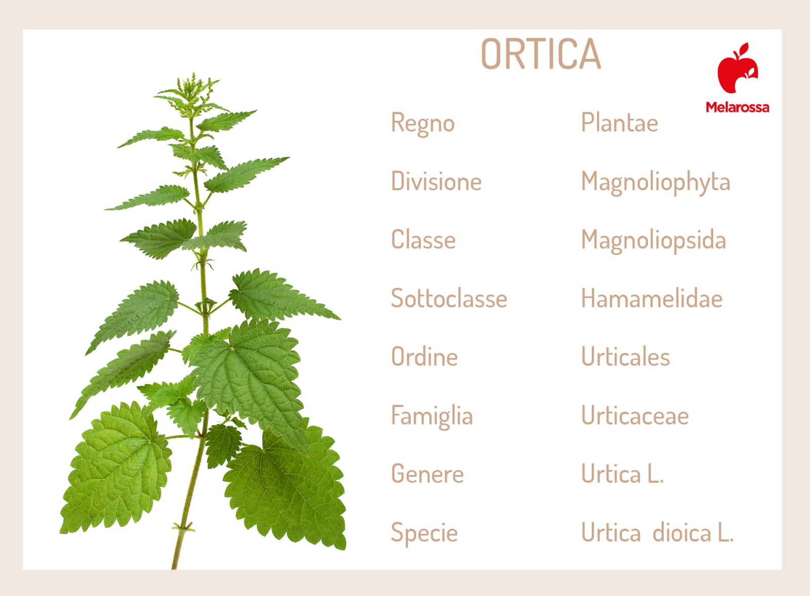 L'ortica è una pianta officinale dalle grandi proprietà e usi sia in cucina sia in bellezza