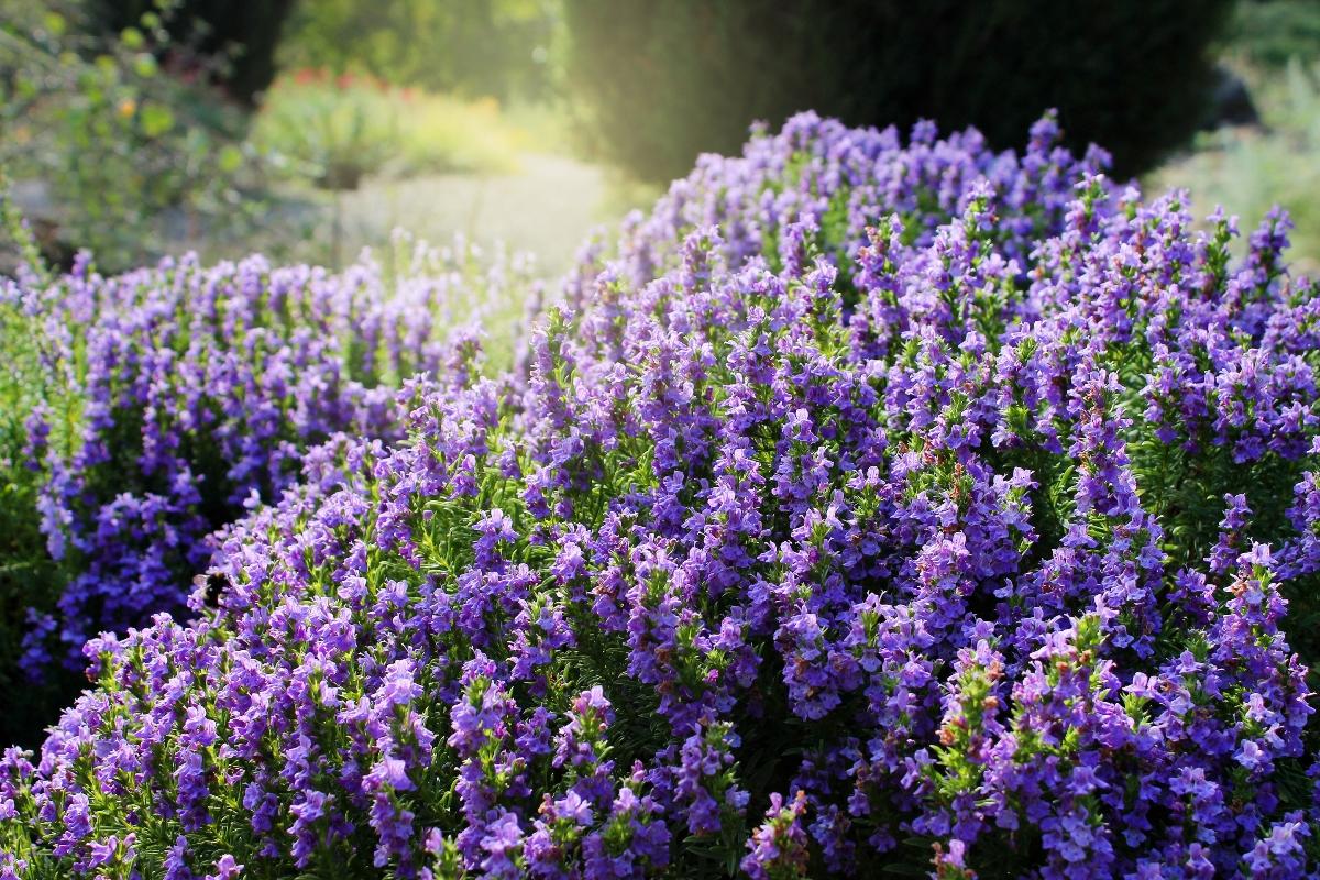 santoreggia: botanica