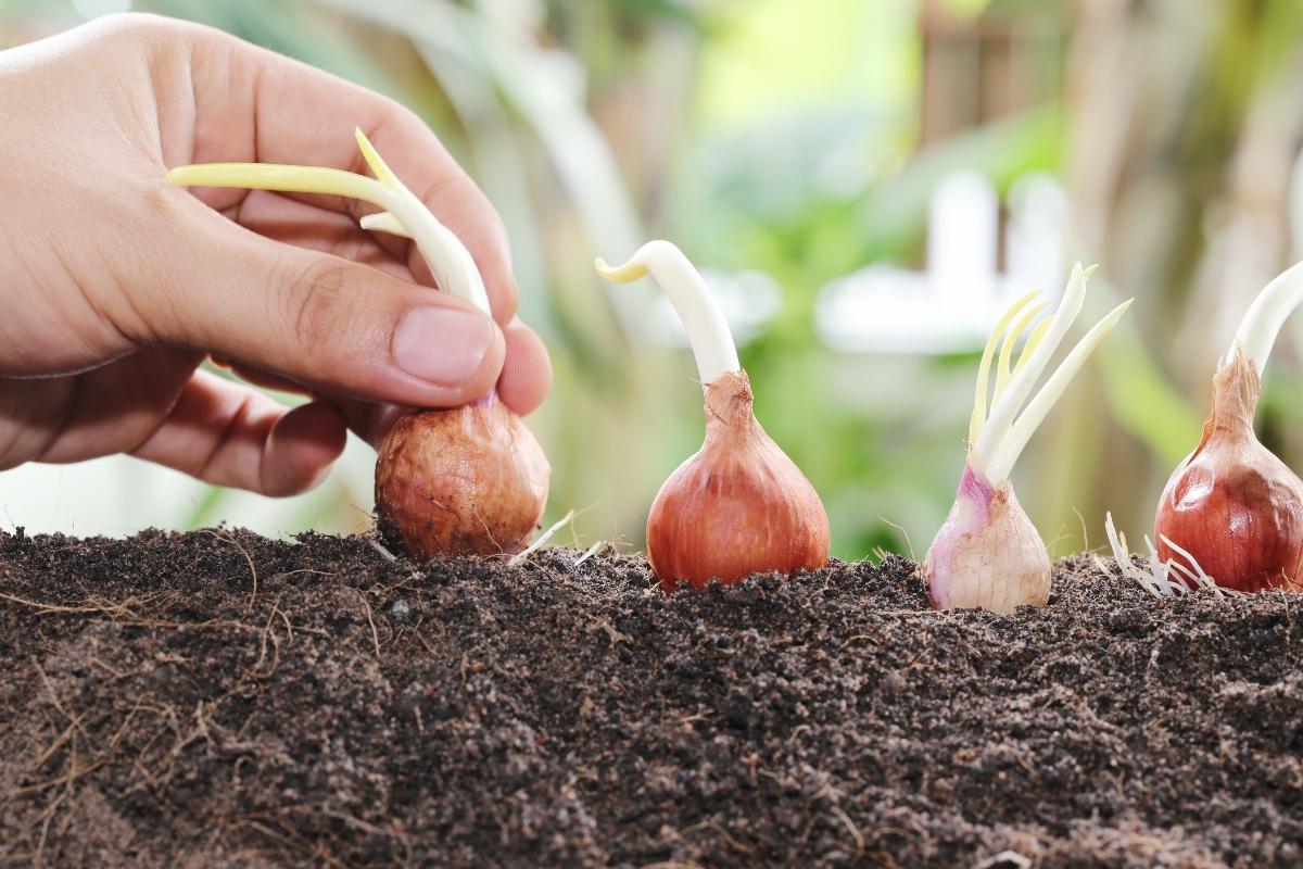 scalogno: come coltivarlo