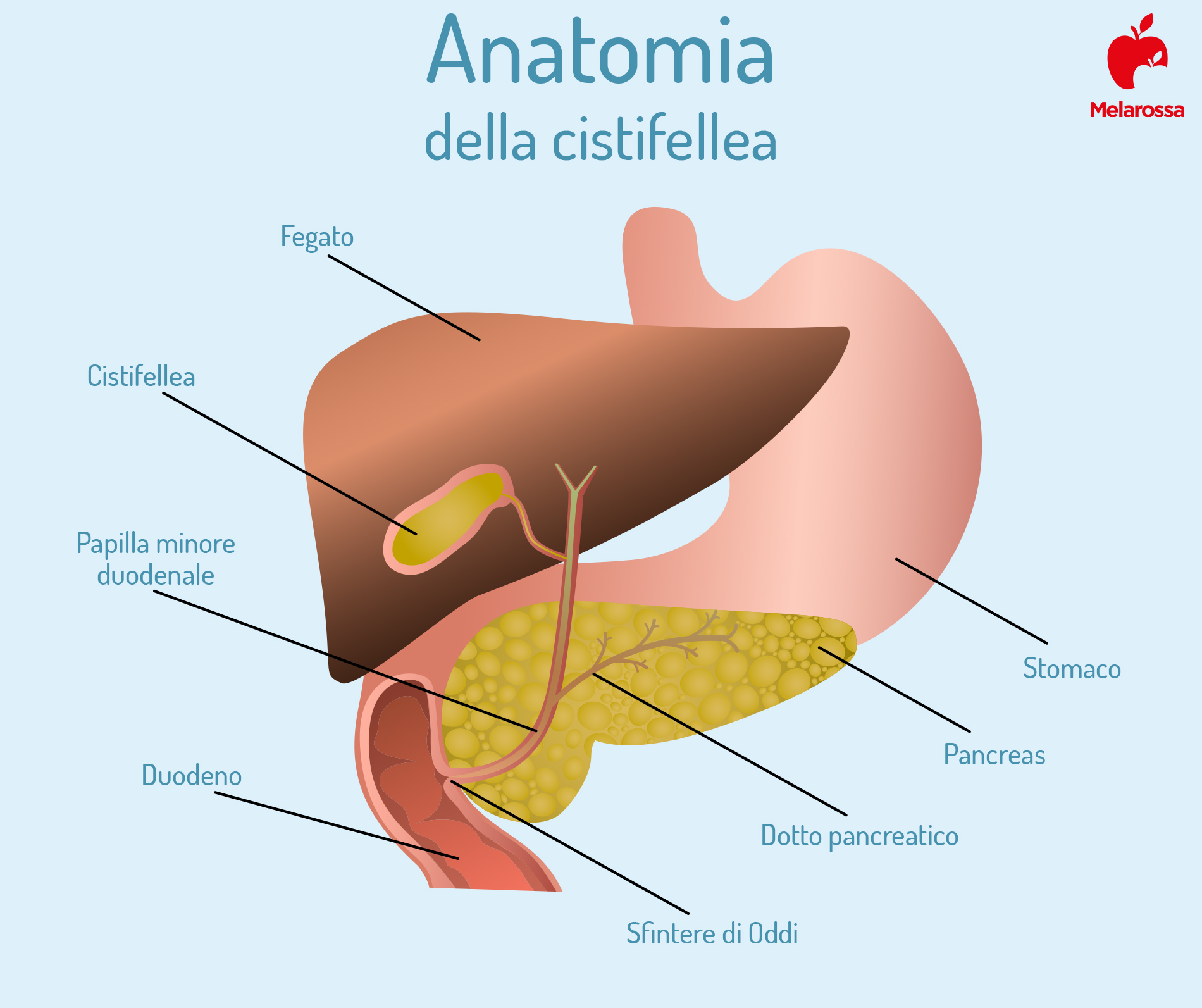 Cistifellea: anatomia