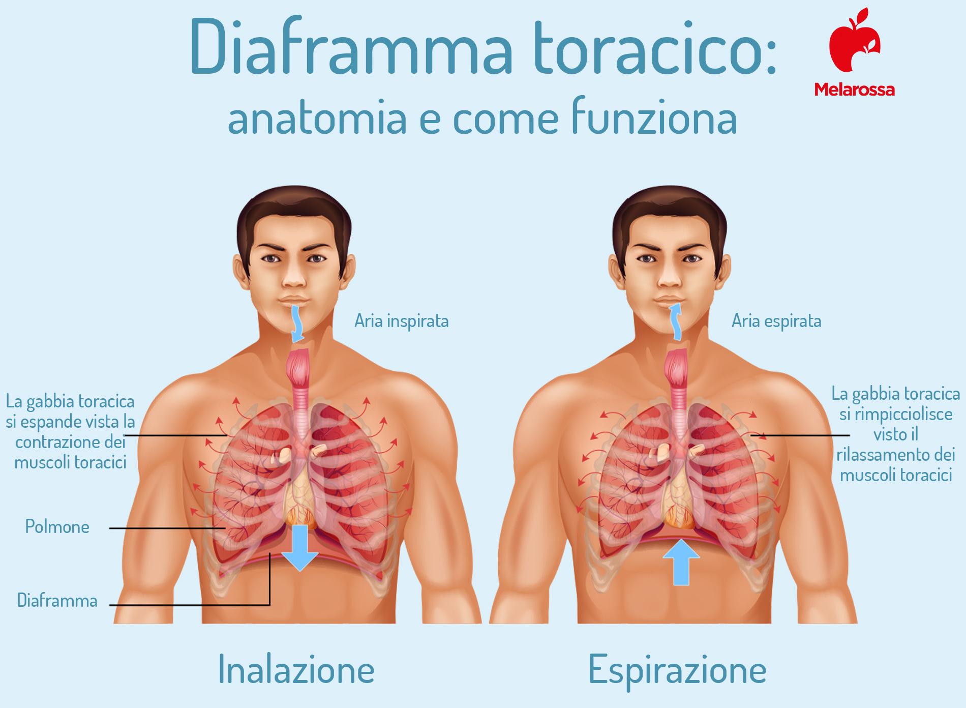 diaframma toracico anatomia e come funziona