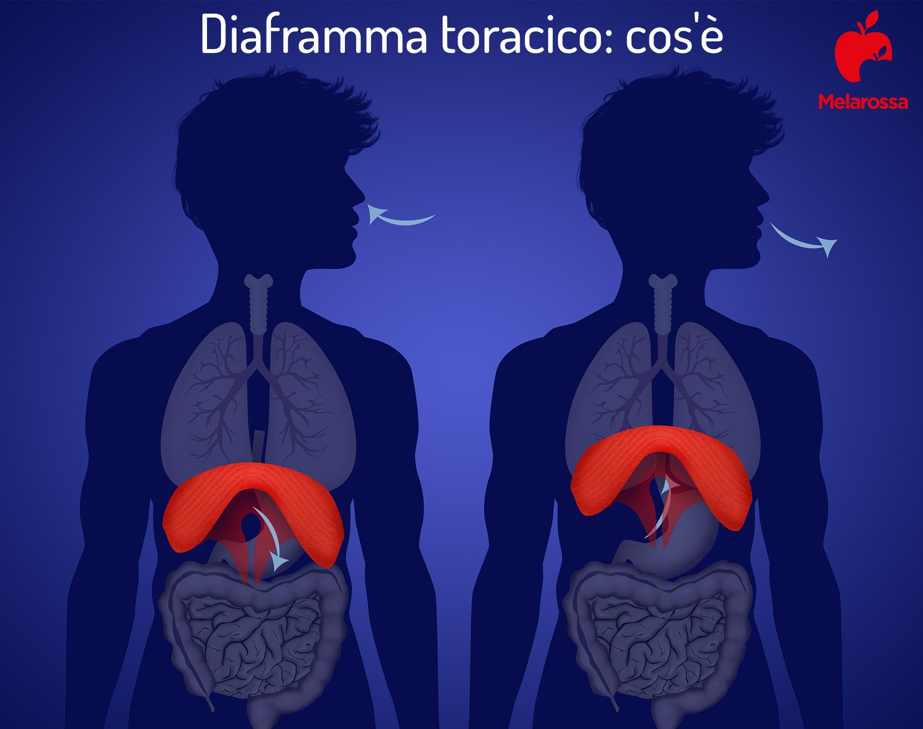 diaframma toracico: cos'è