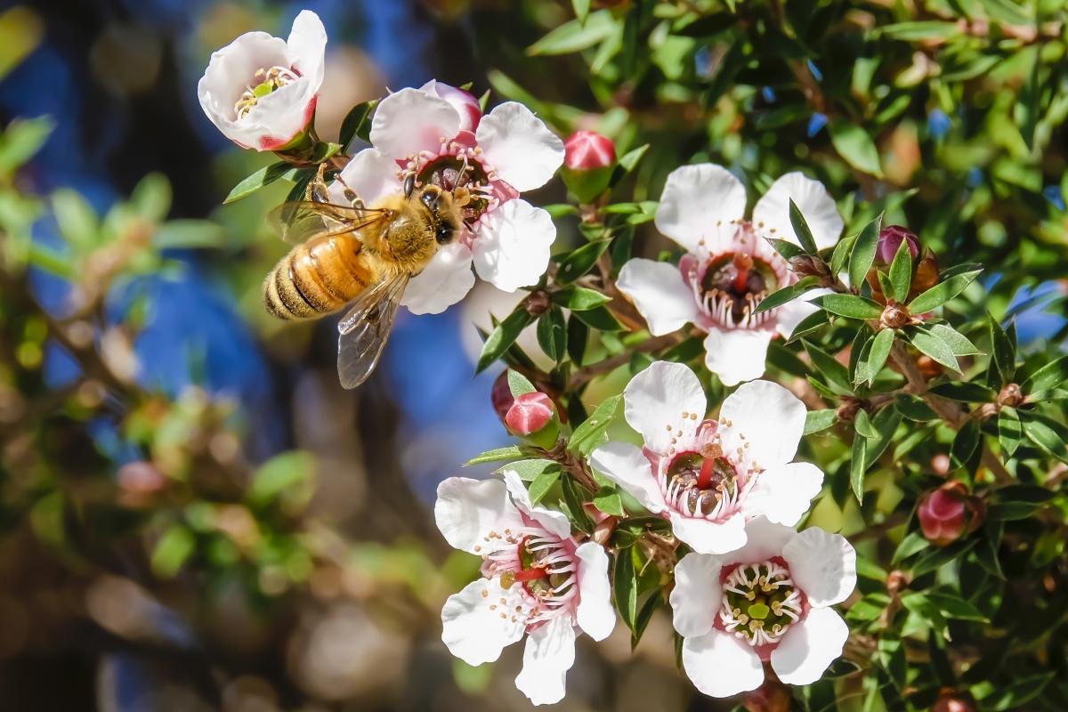 miele di manuka: proprietà nutrizionali