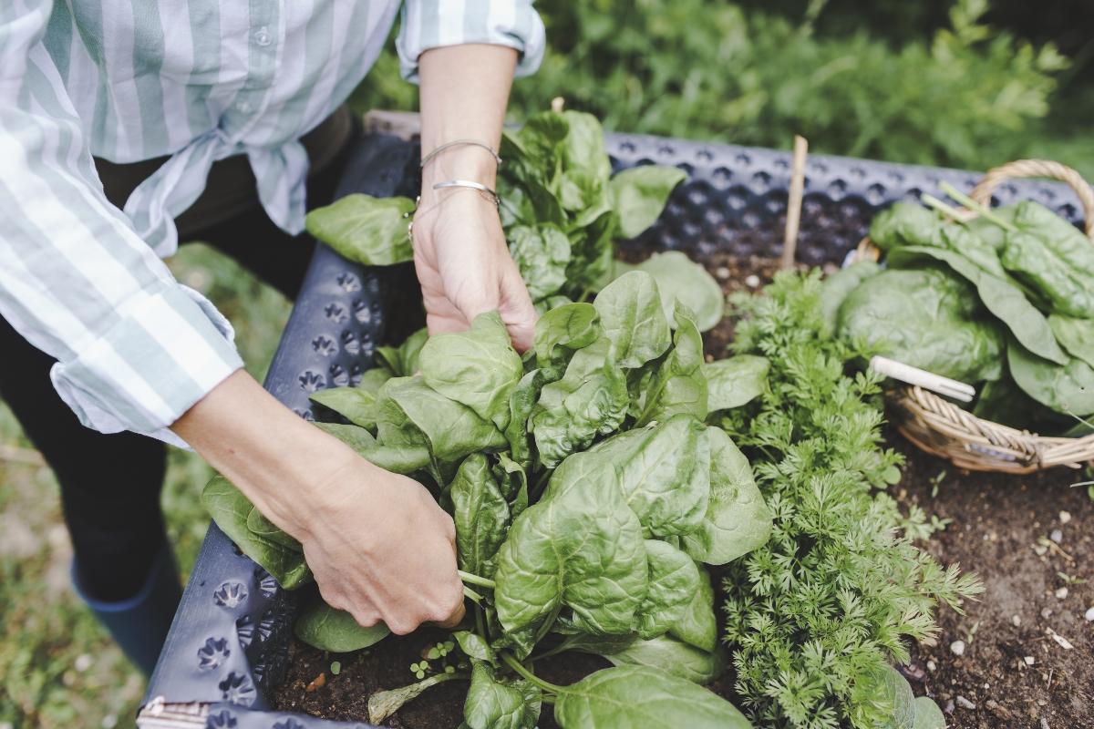 spinaci: botanica e varietà