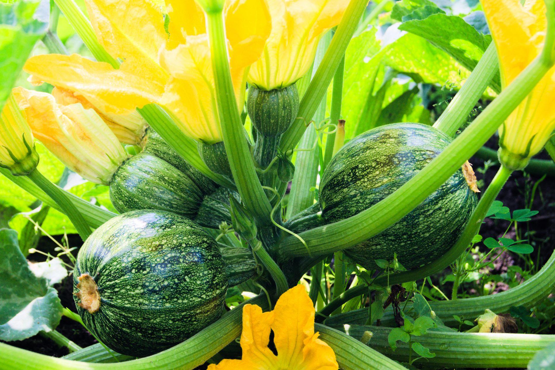 le varietà della zucchina