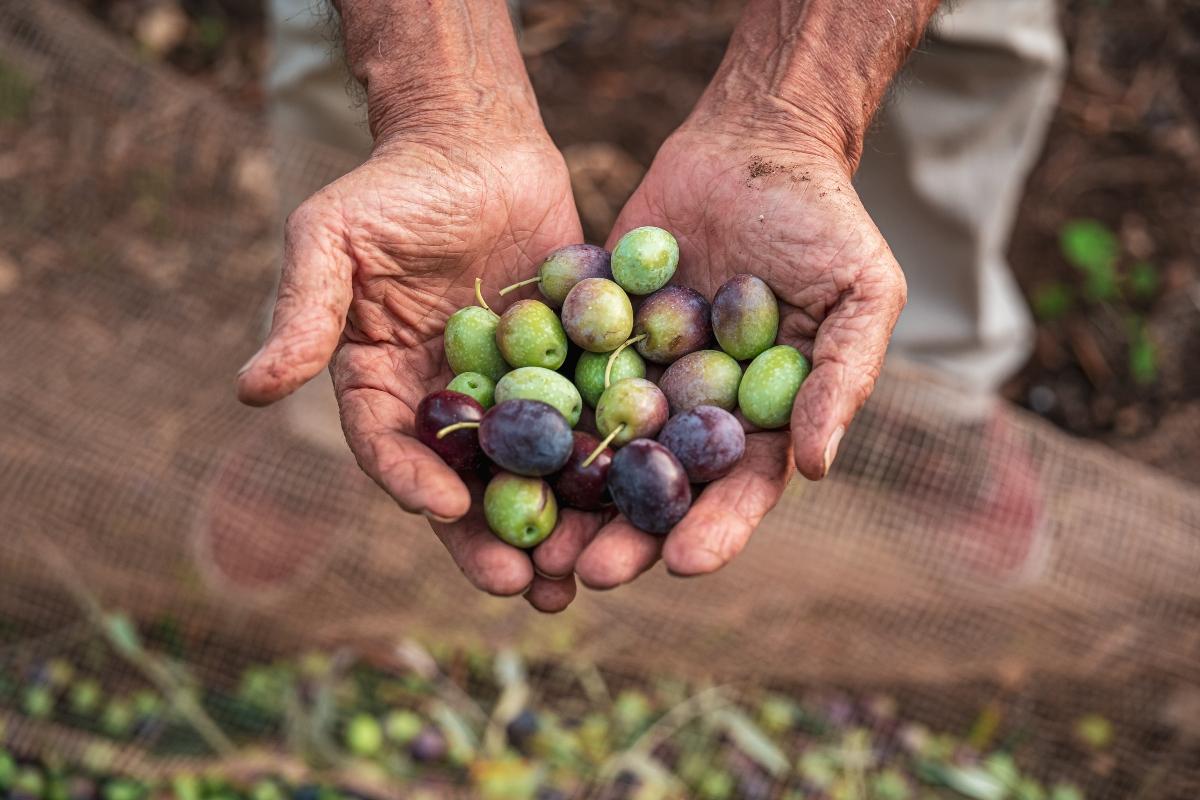 Olive: produzione e raccolta