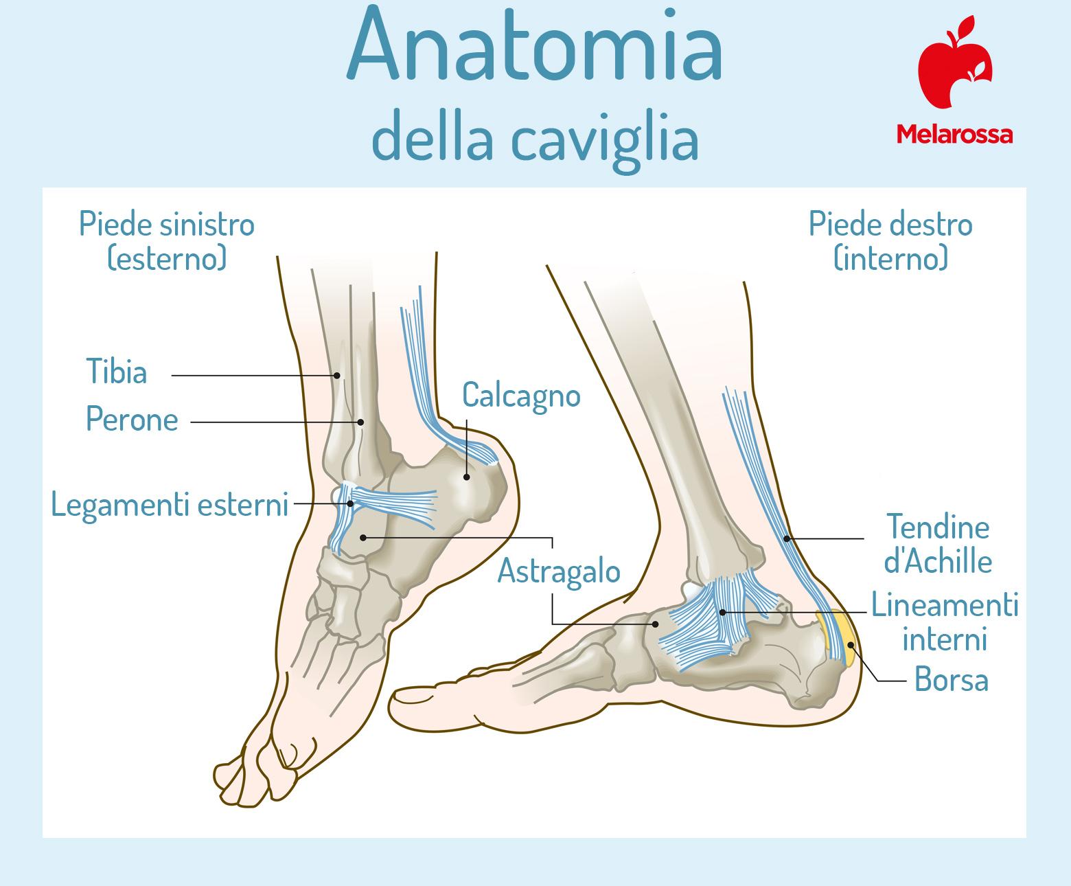 tallonite: anatomia della caviglia