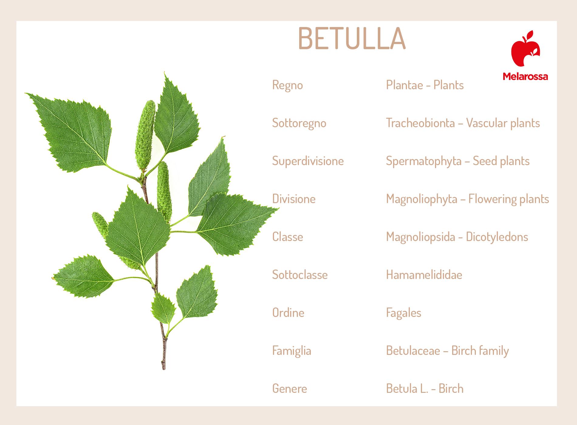 betulla: botanica