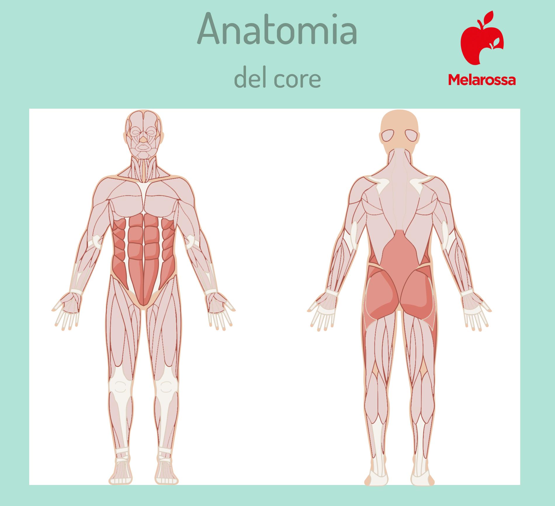 core stability: anatomia del core