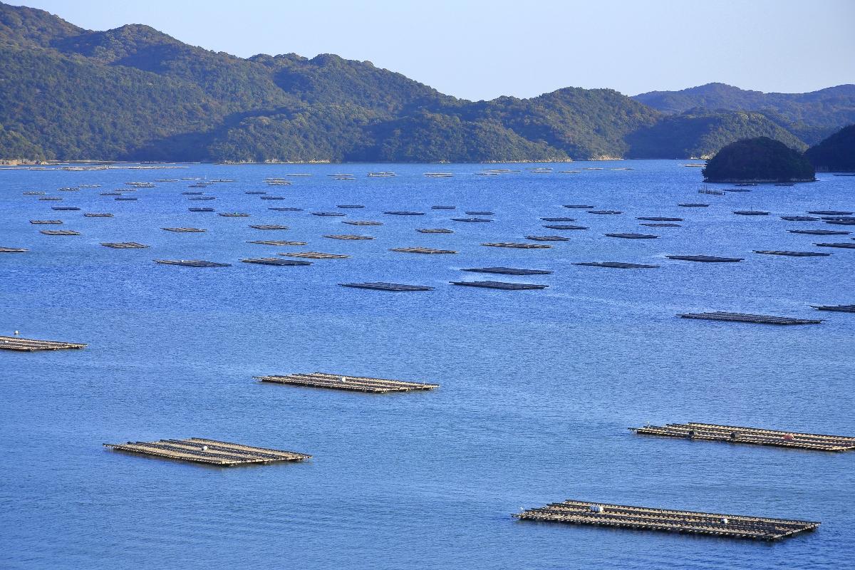 ostriche: allevamento in sospensione in Giappone