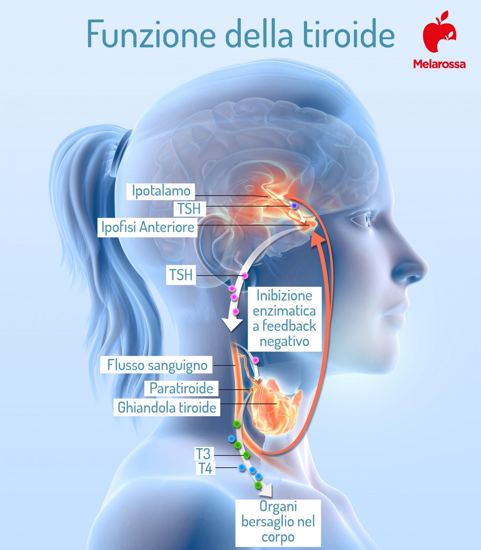 TSH: funzione della tiroide