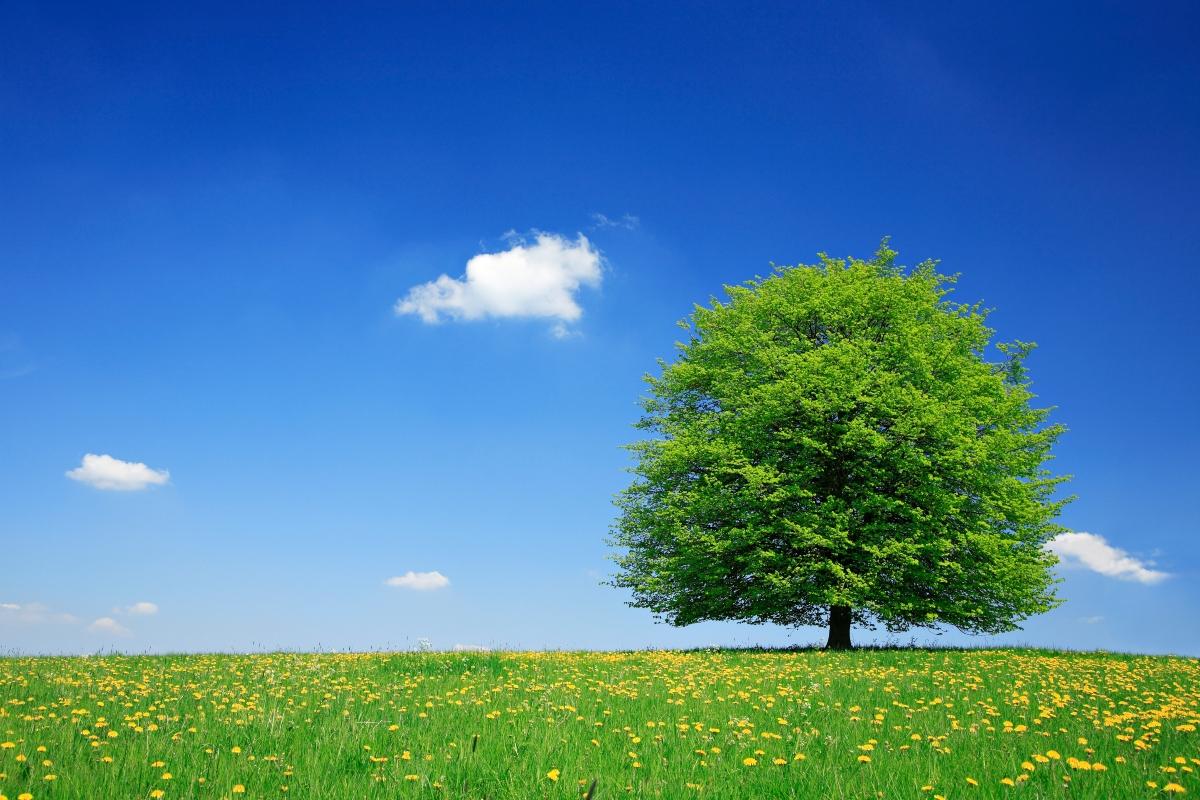 albero del tiglio