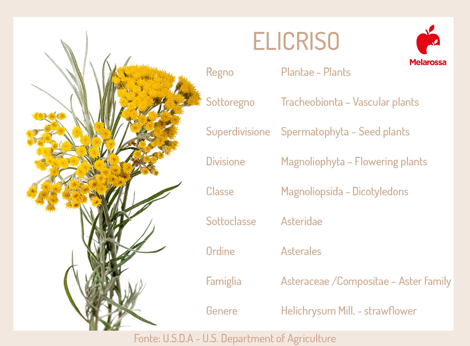 elicriso: pianta e botanica