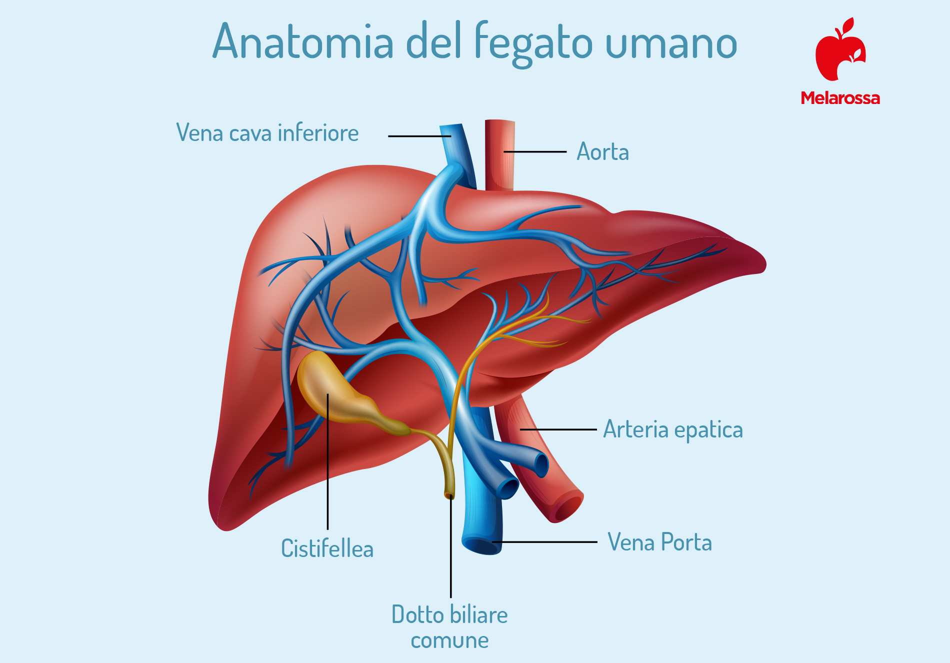 Epatite B: anatomia del fegato