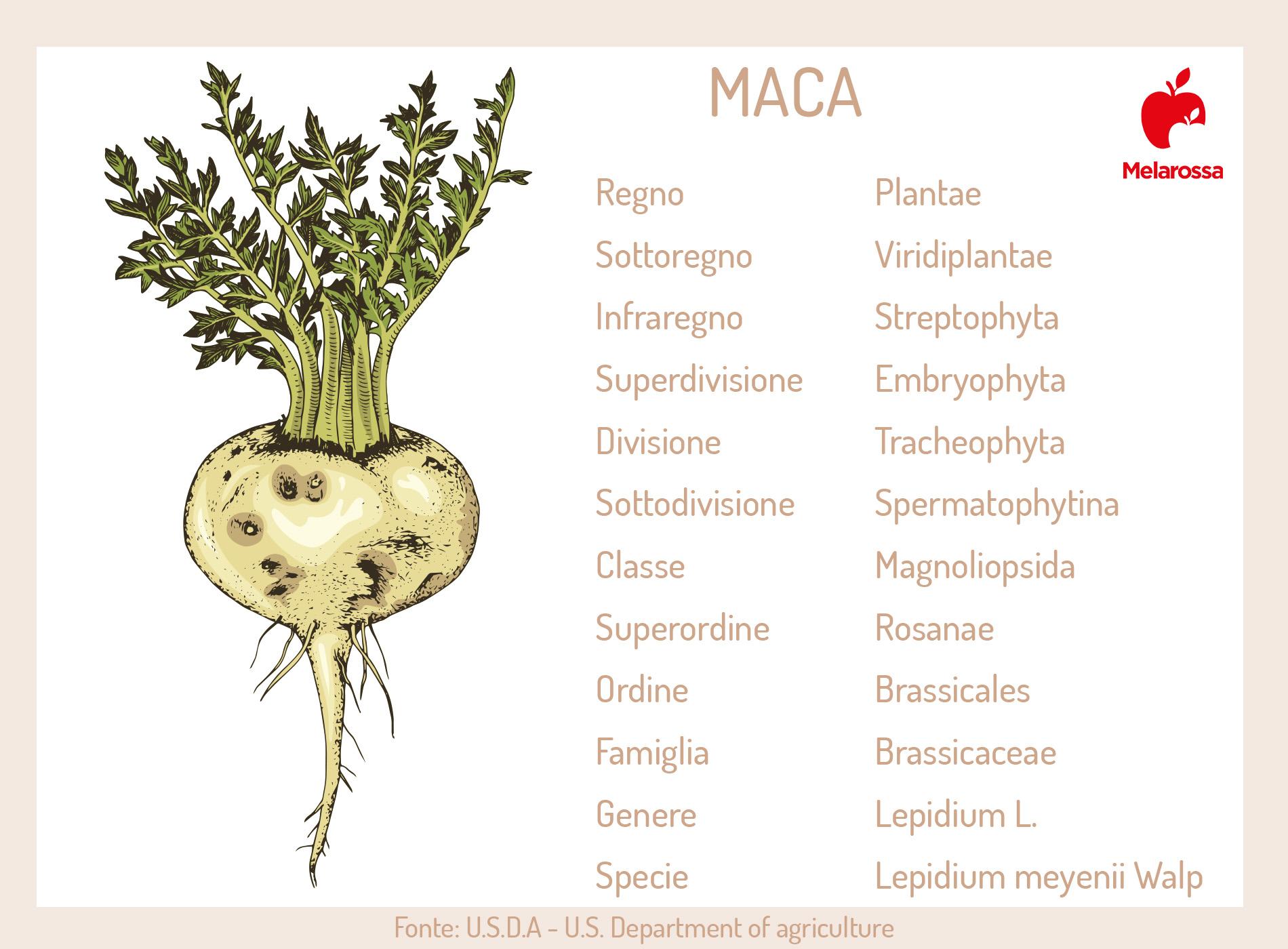 maca: botanica