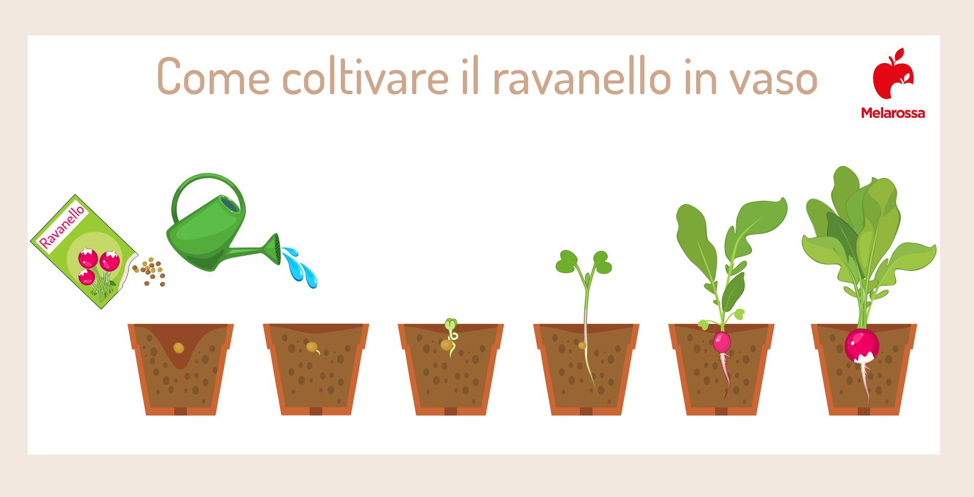 come coltivare il ravanello in vaso