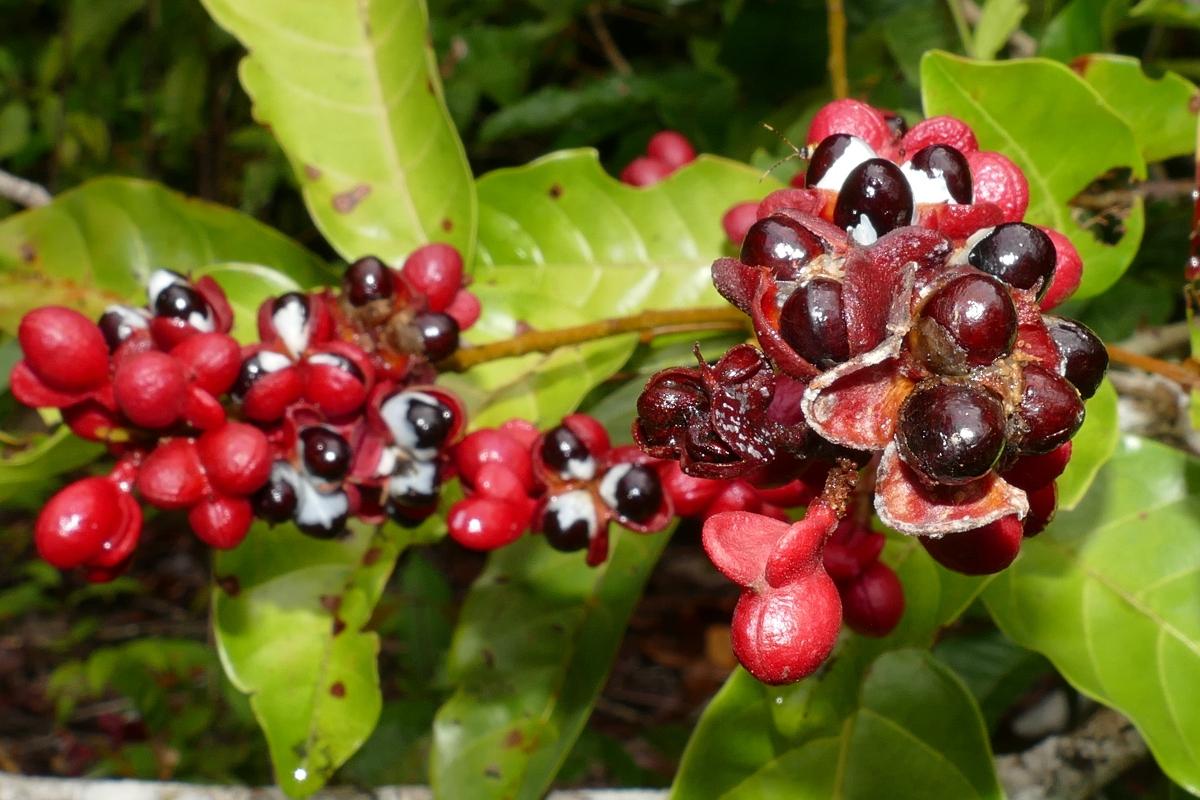 Guaranà: botanica