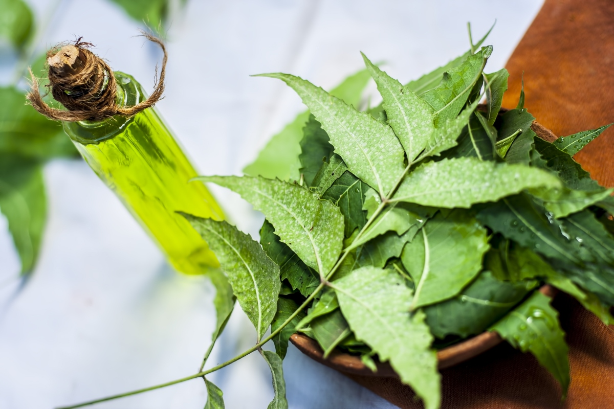 olio di neem: botanica