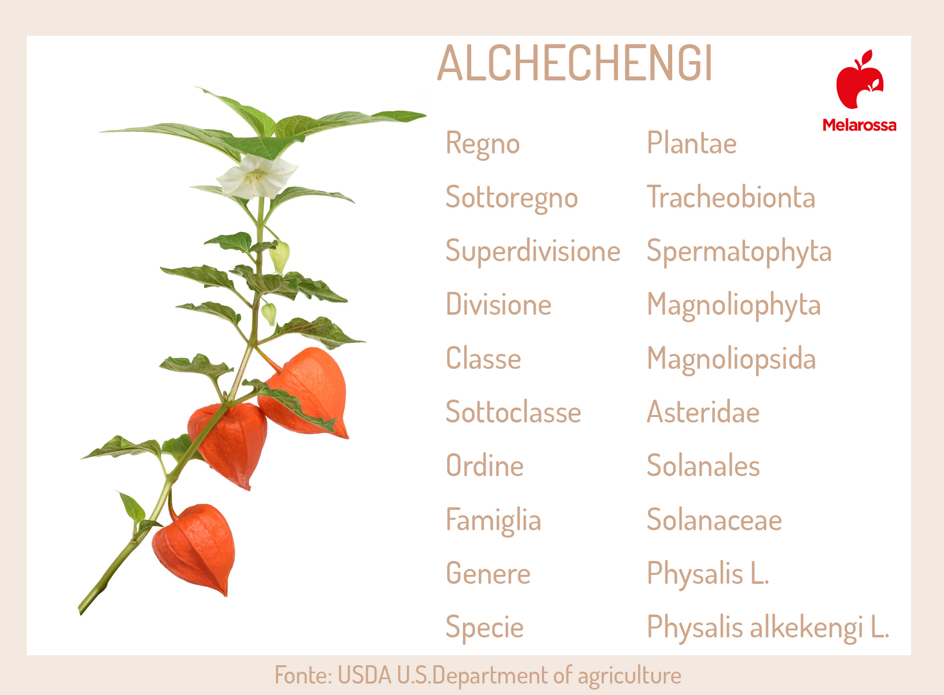 alchechengi: botanica
