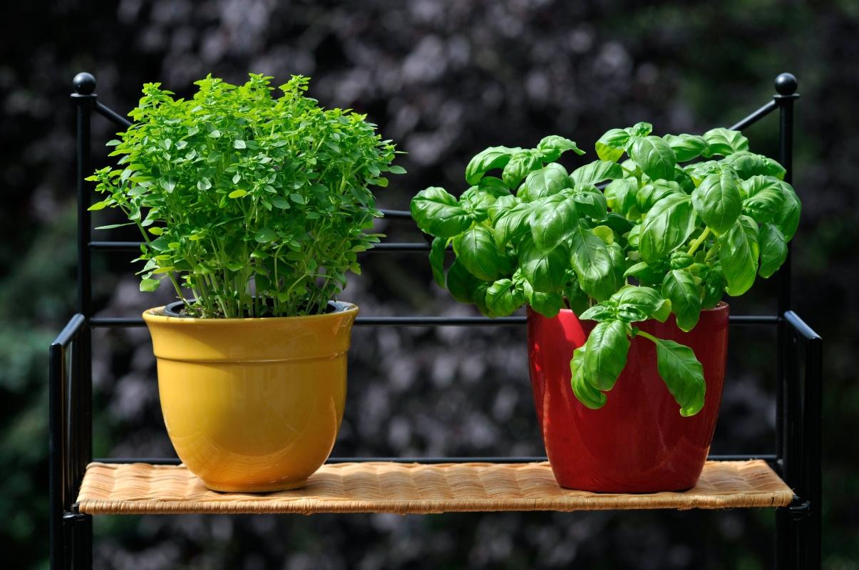 coltivare il basilico in vaso: guida