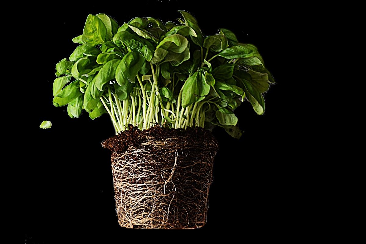 come coltivare il basilico in vaso