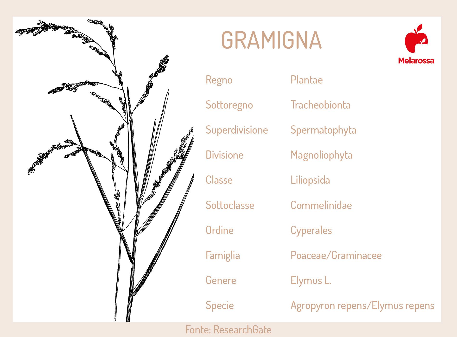 gramigna: Botanica