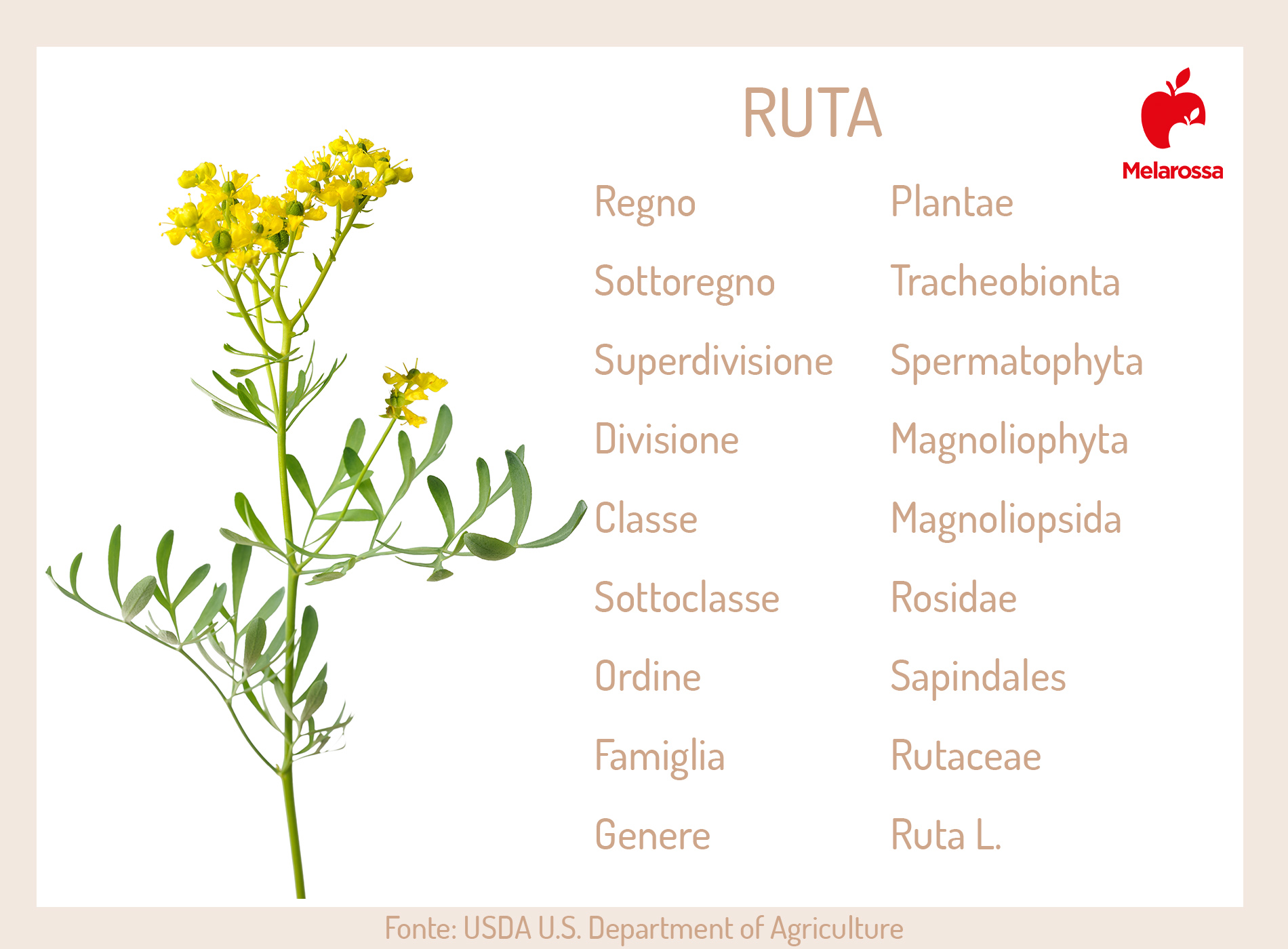 Ruta: botanica
