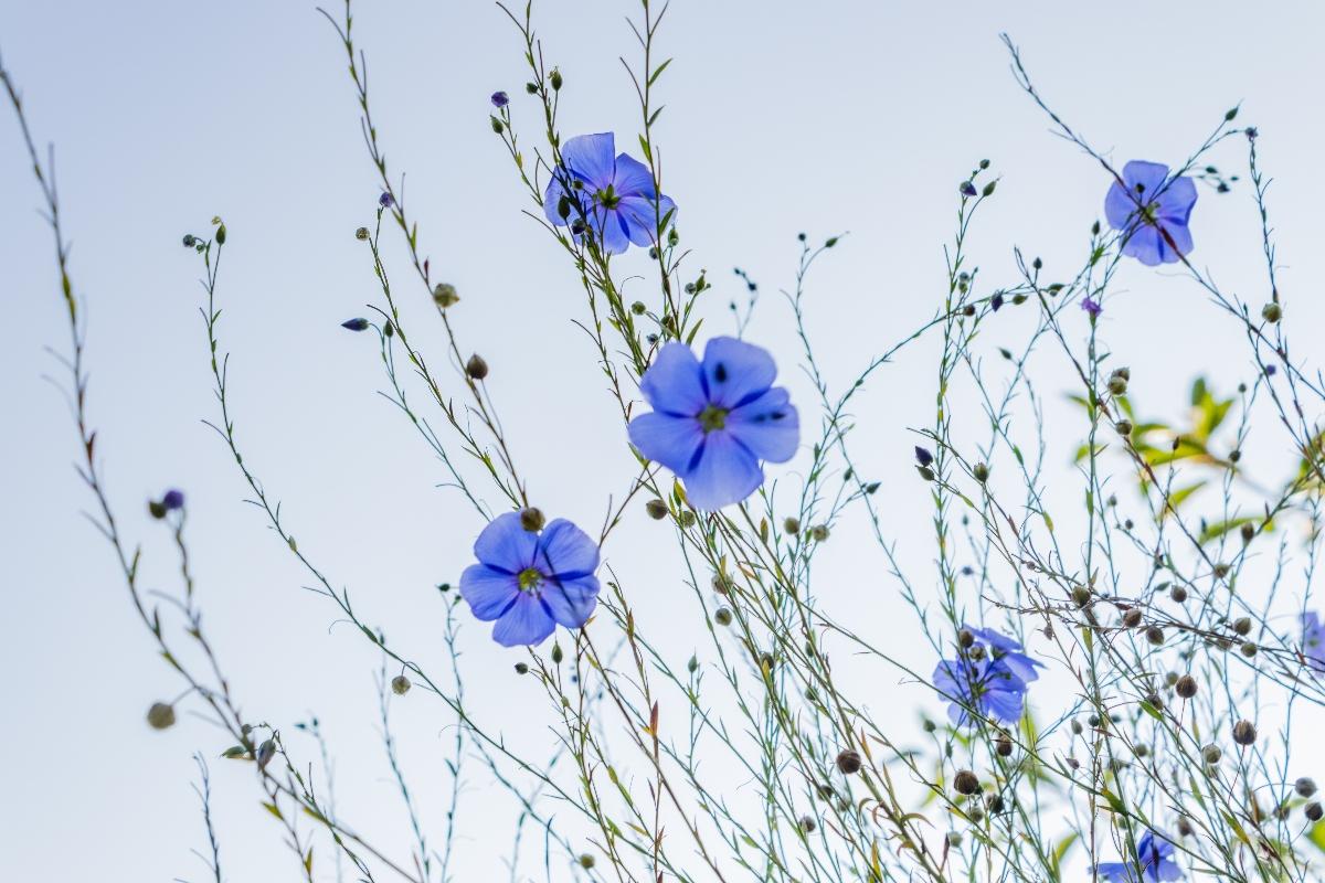 semi di lino: botanica