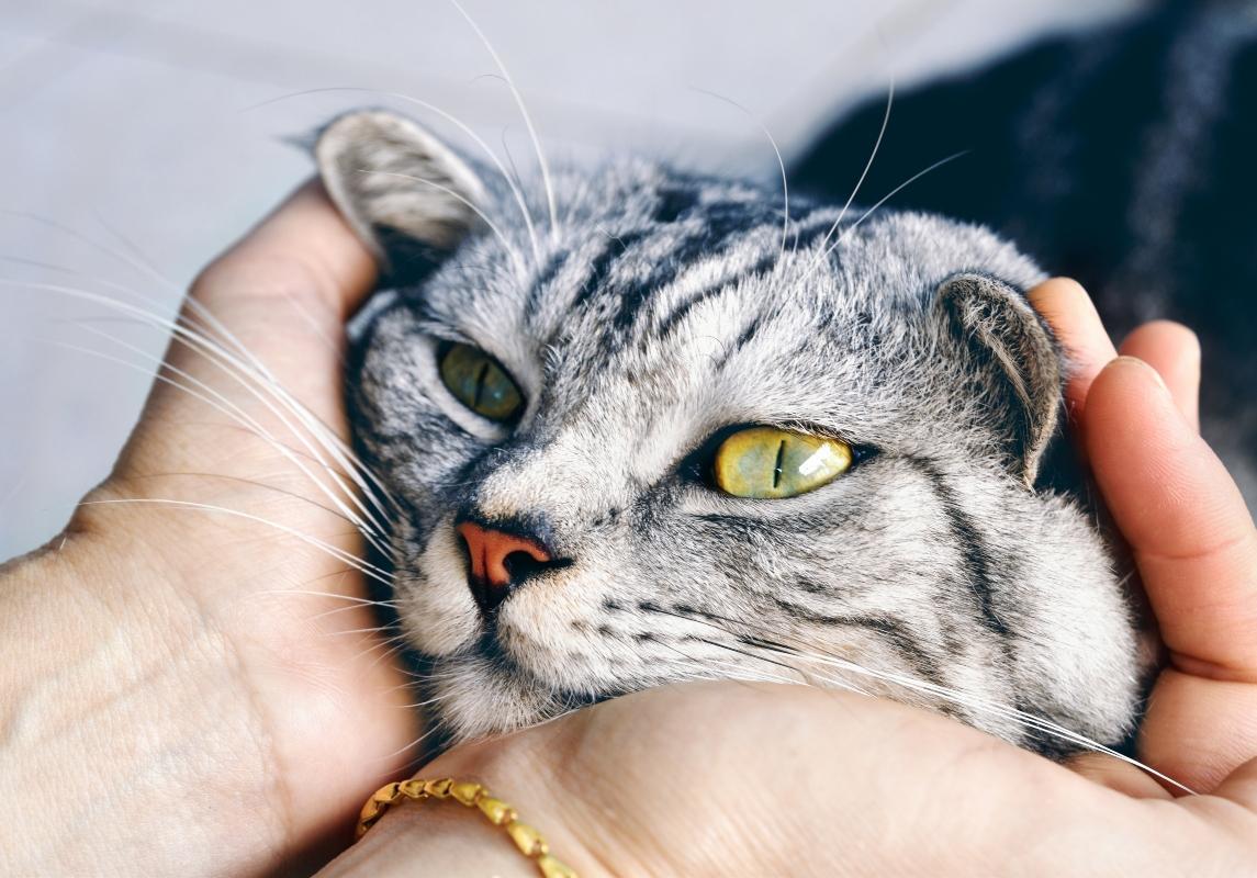 toxoplasmosi e gatto