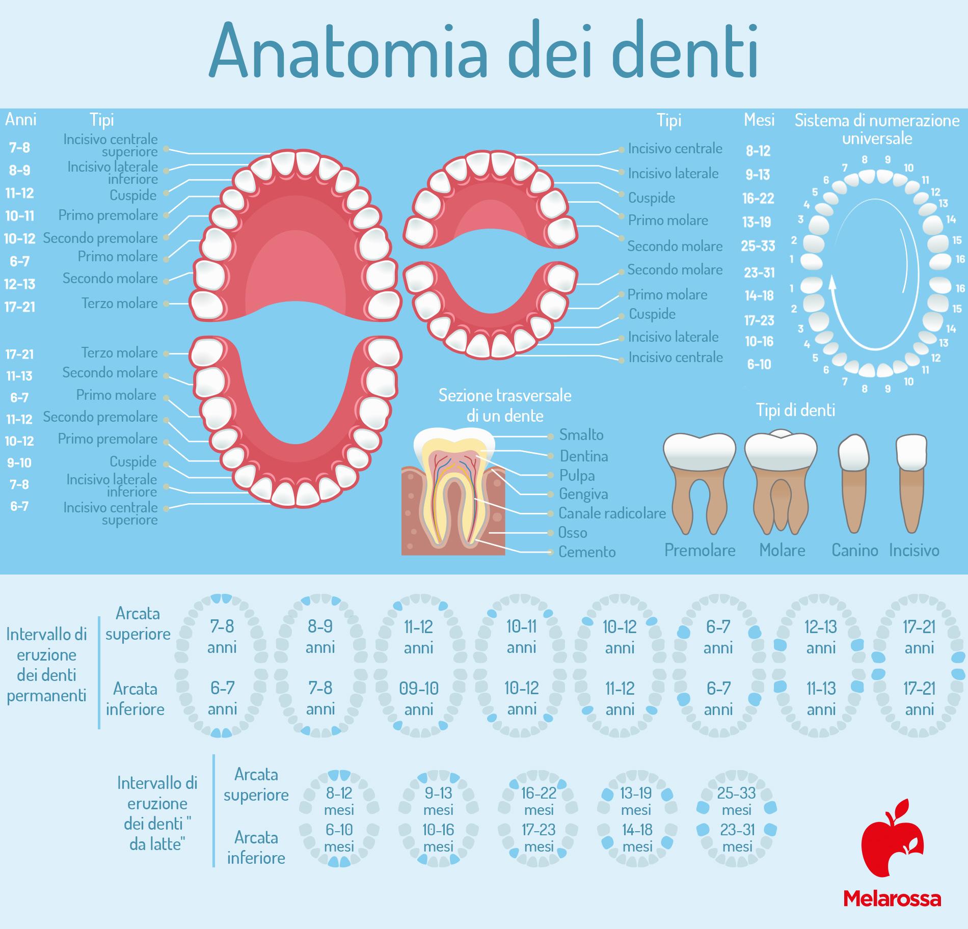 denti del giudizio: anatomia dei denti