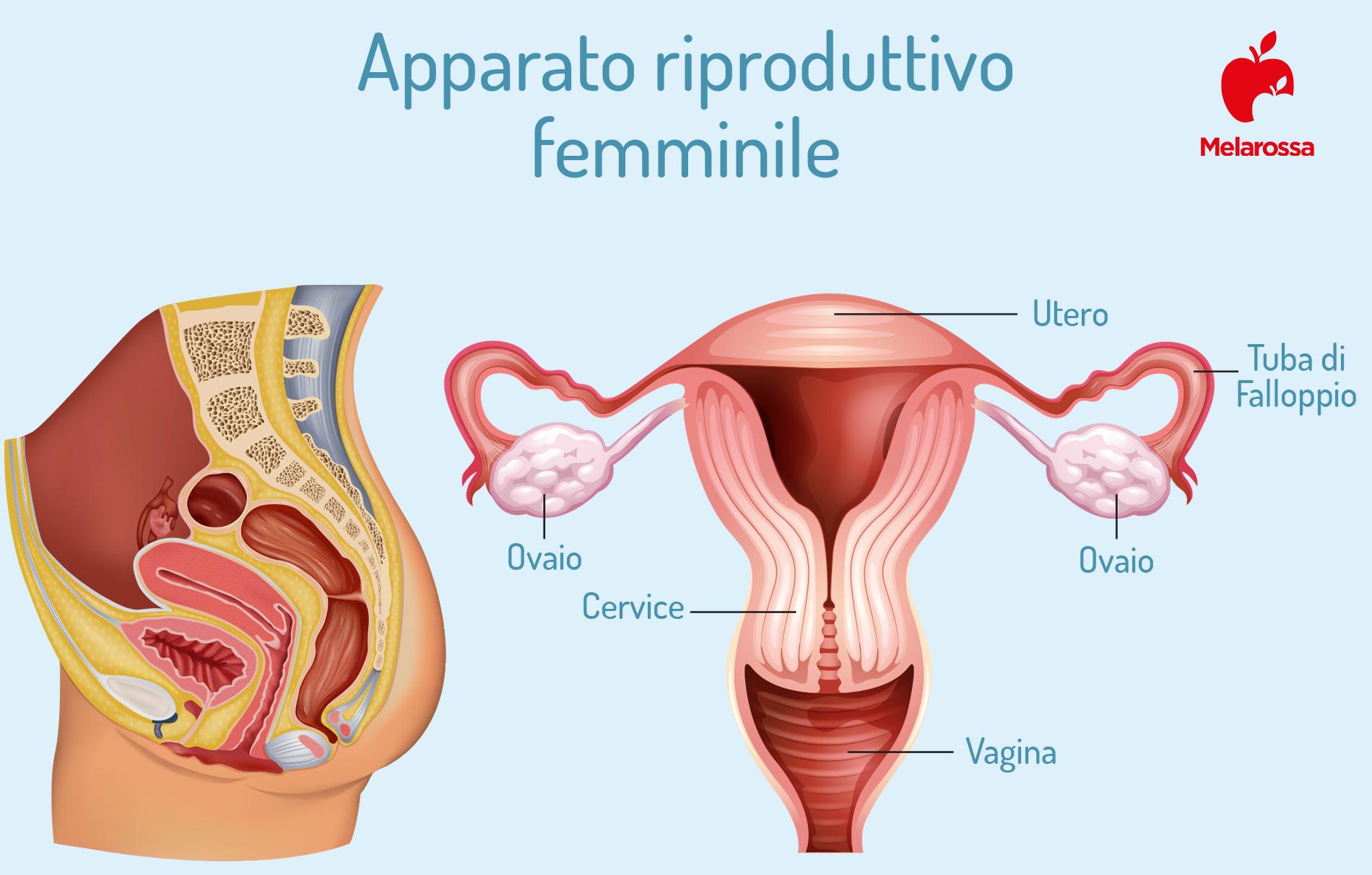 amenorrea: anatomia