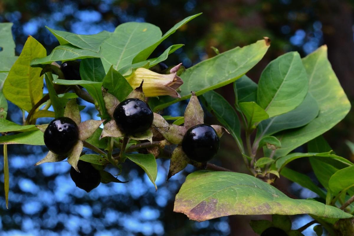 belladonna: botanica