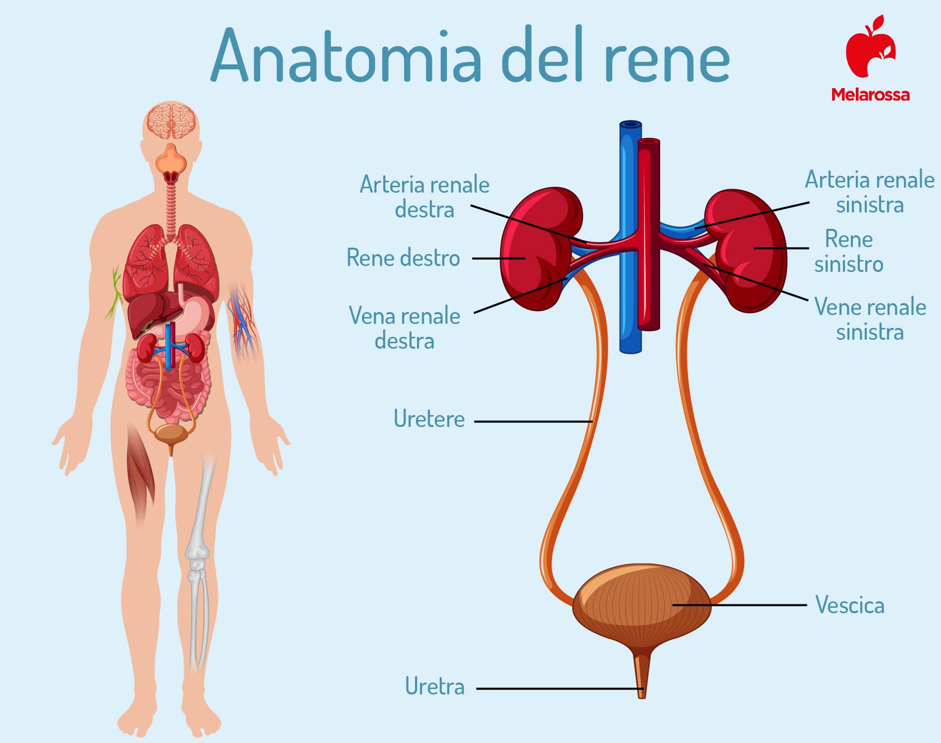 calcoli renali: anatomia del rene