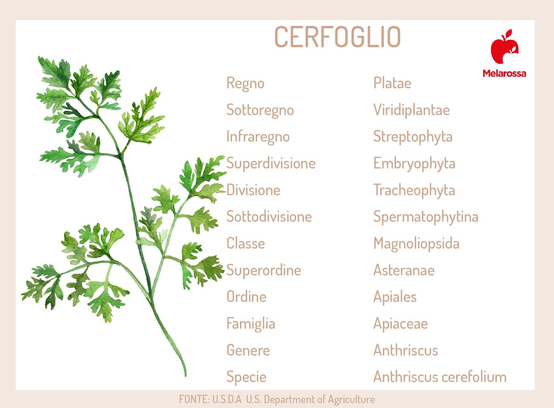 cerfoglio: botanica