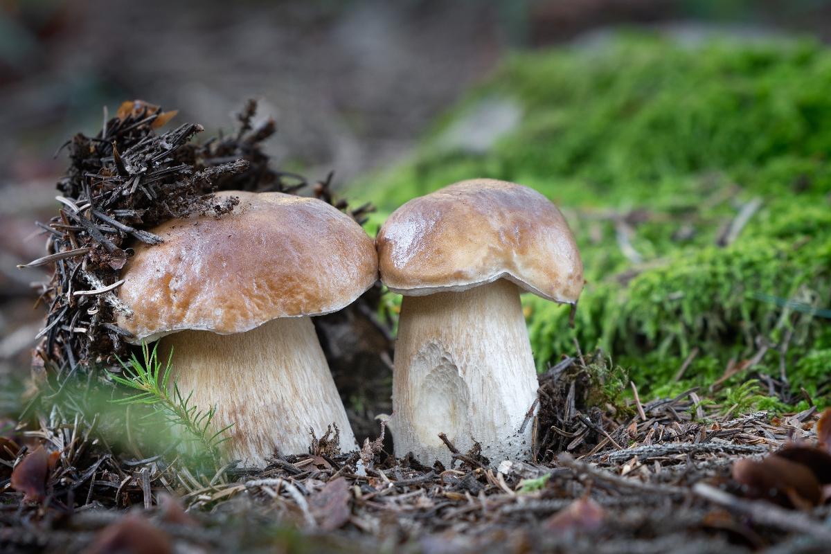 funghi porcini: Boletus edulis -foto